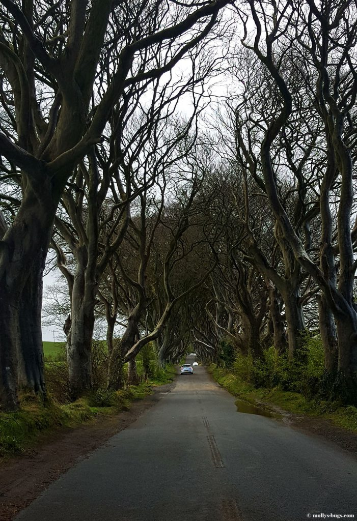 Dark_hedges_Ireland_1